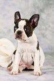 Boston terrier sitting on white towels Royalty Free Stock Photo