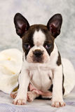 Boston terrier sitting on white towels Royalty Free Stock Photo