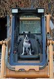 Boston Terrier on the skid steer Stock Image
