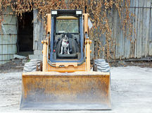 Boston Terrier on the skid steer Stock Photos