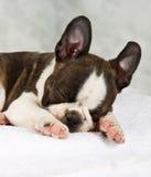 Boston terrier sleeping in white towels Stock Photo