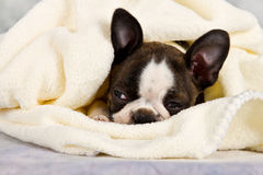 Boston terrier sleeping in white towels Royalty Free Stock Photography