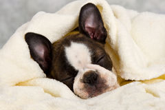 Boston terrier sleeping in white towels Royalty Free Stock Photo