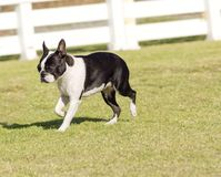 Boston terrier Royalty Free Stock Image