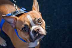 Boston Terrier som ser upp Royaltyfri Bild
