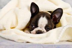 Boston terrier som sover i vita handdukar Royaltyfri Fotografi