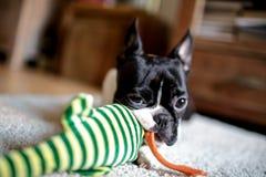 Boston Terrier st?ende royaltyfri foto