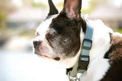 Boston Terrier stares-1 lizenzfreies stockbild