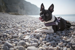 Boston Terrier am Strand lizenzfreie stockbilder