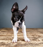 Boston Terrier Studio Portrait Royalty Free Stock Images