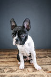 Boston Terrier Studio Portrait Stock Image