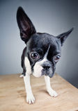 Boston Terrier Studio Portrait Royalty Free Stock Photo
