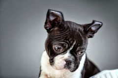 Boston Terrier Studio Portrait Stock Photography