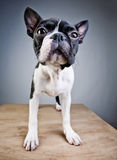 Boston Terrier Studio Portrait Royalty Free Stock Image