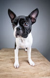 Boston Terrier Studio Portrait Stock Photos
