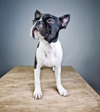 Boston Terrier Studio Portrait Stock Images