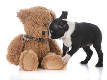 Boston terrier with stuffed teddy bear. Boston terrier puppy with stuffed teddy bear on white background Royalty Free Stock Images