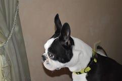 Boston Terrier styrka arkivfoto