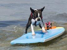 Boston Terrier surfant les vagues image libre de droits
