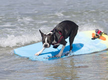 Boston Terrier Surfing. On the beach on a sunny day Stock Images