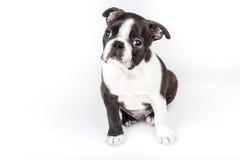 Boston Terrier szczeniak Obrazy Stock