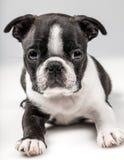 Boston Terrier szczeniak Fotografia Stock