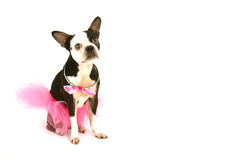 Boston terrier with tutu. Old boston terrier with a pink tutu and a bow around the neck on a white background Royalty Free Stock Photography