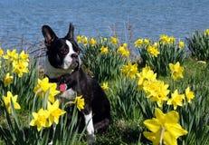 Boston-Terrier unter den Narzissen Lizenzfreie Stockbilder