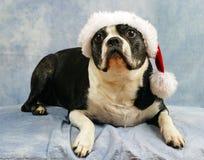 Boston Terrier utilise son chapeau de Santa Photos libres de droits