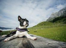 Boston Terrier w Austriackich Alps zdjęcie royalty free