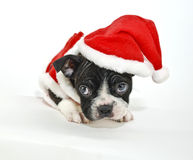 Boston Terrier Wearing a Santa Hat Stock Image