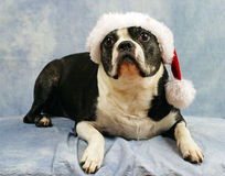 Boston Terrier wears her santa hat Royalty Free Stock Photos