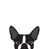 Boston Terrier with white background Royalty Free Stock Photo