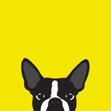 Boston Terrier with yellow background Stock Photo
