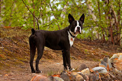 Boston-Terrierhund Stockbild