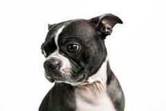 Boston-Terrierhund Lizenzfreies Stockbild