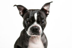 Boston terrierhund Royaltyfri Bild
