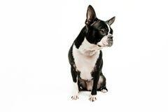 Boston-Terrierhundesitzen Lizenzfreie Stockfotos