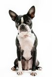 Boston-Terrierhundesitzen Stockfotos