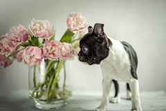 Boston Terriervalp Arkivfoton