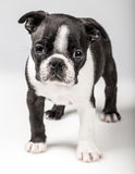 Boston Terriervalp Royaltyfria Foton