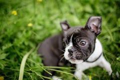 Boston Terriervalp arkivfoto
