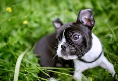 Boston Terriervalp fotografering för bildbyråer
