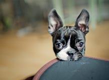 Boston Terriervalp arkivbilder