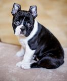 Boston Terriervalp royaltyfri fotografi