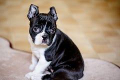 Boston Terriervalp royaltyfria bilder