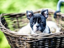Boston Terriervalp royaltyfri foto