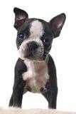 Boston-Terrierwelpe Lizenzfreie Stockfotografie