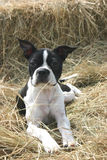 Boston Terrior on Hay. Boston Terrior laying down on top of hay royalty free stock photos