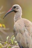 bostrychia hadeda hagedash ibis Obraz Royalty Free